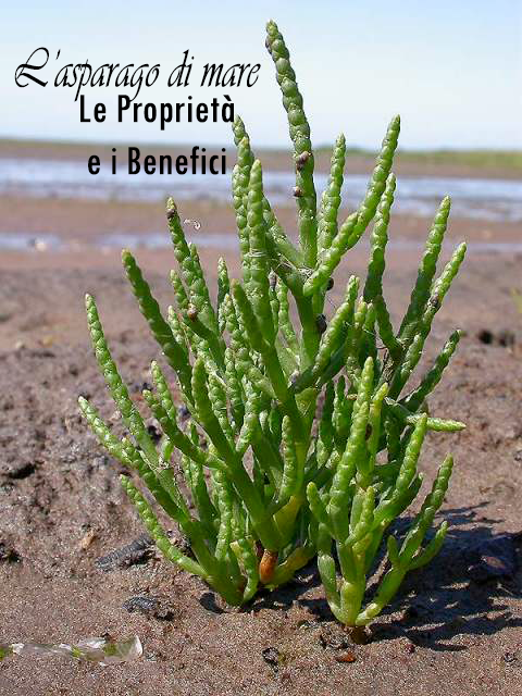 L'asparago di mare