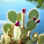 Acqua di cactus per il tuo benessere