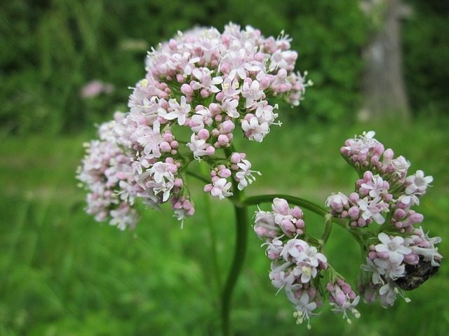 Valeriana- Officinalis