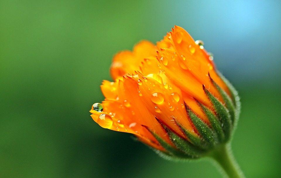 Calendula, pianta del sole alleata della donna.