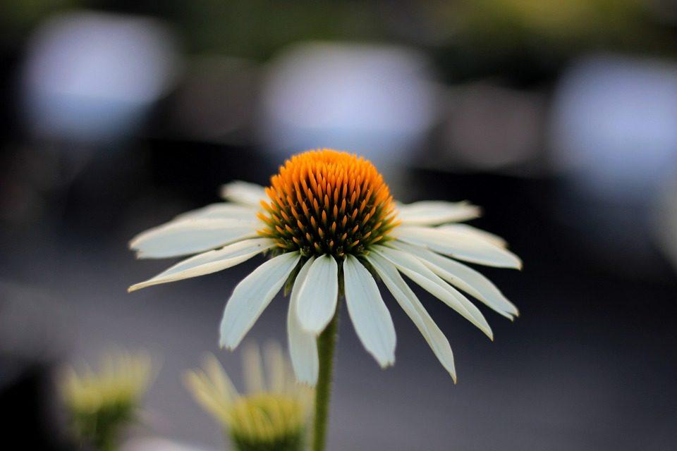 Contro l'influenza: un'erba, echinacea.